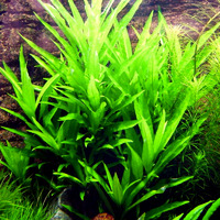 Hygrophila salicifolia - RA koszyk XXL