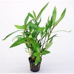Hygrophila salicypholia (koszyk)