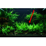 Hygrophila siamensis 53B (in-vitro) puszka 10cm XXL