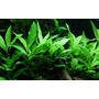 Hygrophila siamensis 53B TROPICA (PCS)