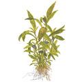 Hygrophila siamensis 53B TROPICA (koszyk)