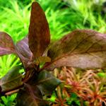Hygrophila siamensis BROWN - RA koszyk XXL