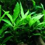 Hygrophila siamensis - in-vitro Aqua-Art