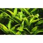 Hygrophila siamensis - matecznik TROPICA (koszyk XL)