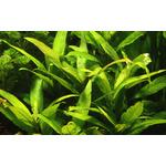 Hygrophila siamensis - RA koszyk XXL