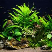 Hygrophila siamensis - RATAJ (koszyk)