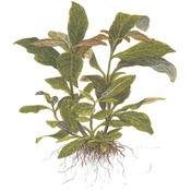 Hygrophila siamensis TROPICA (koszyk)