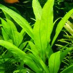 Hygrophila thailand - PLANTACJA (koszyk)