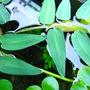 Hygroryza aristata (roślina pływająca) puszka 10cm XXL