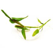 Hygroryza aristata (roślina pływająca) - sadzonka