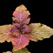 Hyptis lorentziana - sadzonka