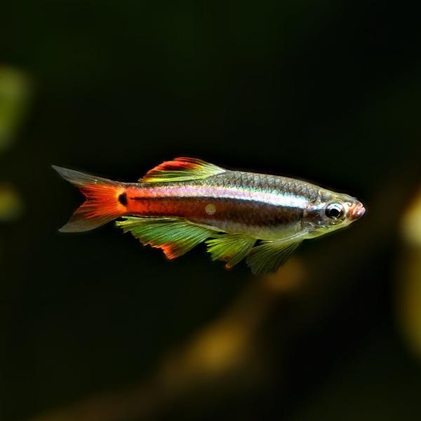 Kardynalek chiński - Tanichthys albonubes (1 szt) - odbiór osobisty