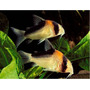 Kirysek adolfa - Corydoras adolfoi (1 szt) - odbiór osobisty (N-)