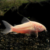 Kirysek albinos - Corydora aeneus albino (1 szt) - odbiór osobisty