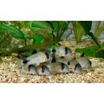 Kirysek panda - Corydoras panda