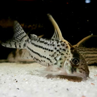 Kirysek Schwartza - Corydoras schwartzi (1 szt) - odbiór osobisty