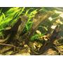 Korzeń mangrowca S (15-23cm) [356025] - 1 sztuka