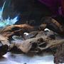 Korzeń Mopani 1kg