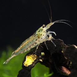 Krewetka Amano  - Caridina multidentata / Caridina japonica (1 szt)