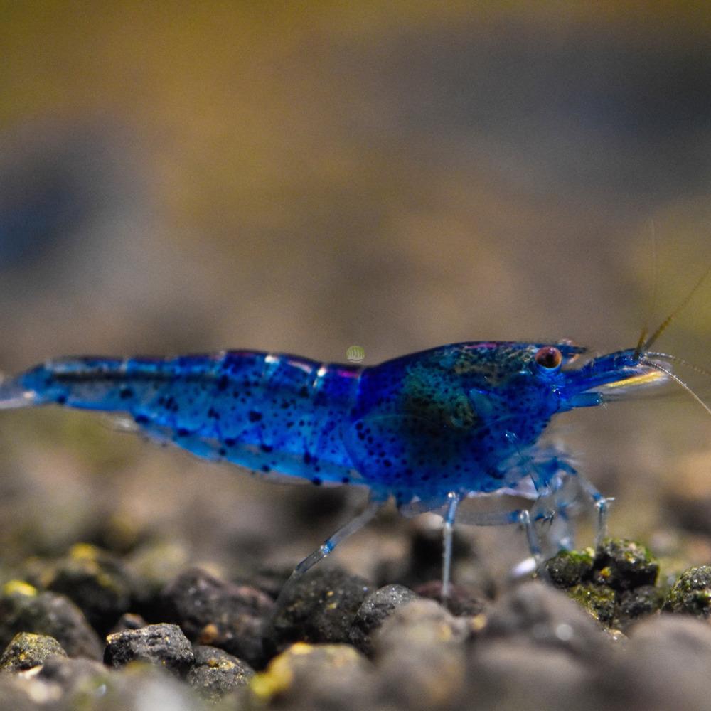 Krewetka Aura Blue