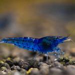 Krewetka Aura Blue (1 szt)