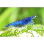 Krewetka Blue velvet Daimond (1 szt)