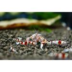 Krewetka Crystal Red - Caridina CRYSTAL RED BEE