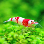 Krewetka Crystal Red - Caridina CRYSTAL RED BEE (1 szt)