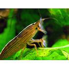 Krewetka filrująca - Atyopsis moluccensis (1 szt) - odbiór osobisty