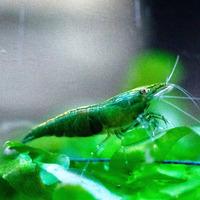 Krewetka Green Jade (1 szt)