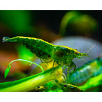 Krewetka Green Jade - Neocaridina heteropoda var. Green Jade