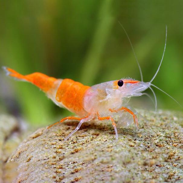 Krewetka Orange Rili - Neocaridina heteropoda var. Orange Rili