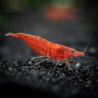 Krewetka Red Cherry - Neocaridina davidi (1 szt)
