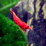 Krewetka Sakura Red (10 szt) - odbiór osobisty