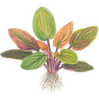 Lagenandra meeboldii Red - TROPICA (koszyk)
