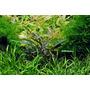 Lilaeopsis brasiliensis - RATAJ (koszyk)