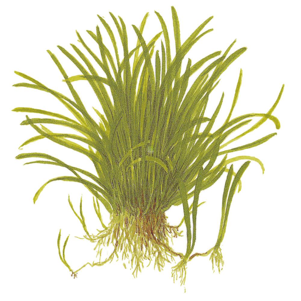 Lilaeopsis brasiliensis TROPICA (koszyk)