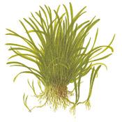 Lilaeopsis brasiliensis TROPICA (PCS)