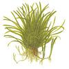 Lilaeopsis brasiliensis TROPICA in-vitro (w żelu)