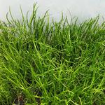 Lilaeopsis mauritiana - RA koszyk XXL