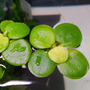 Limnobium laevigatum (roślina pływająca) - porcja 5cm