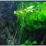 Limnobium spongia (roślina pływająca) - sadzonka