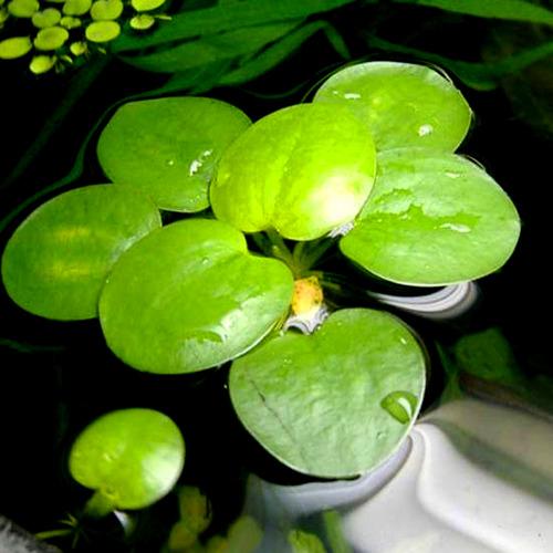 Limnobium spongia RATAJ (porcja)