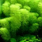 Limnophila aquatica - RA (koszyk)