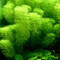 Limnophila aquatica - TROPICA (koszyk)