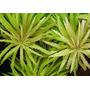 Limnophila aromatica (in-vitro) puszka 5cm