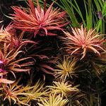 Limnophila aromatica (koszyk)