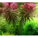 Limnophila aromatica - in-vitro Aqua-Art