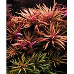Limnophila aromatica - koszyk XXL