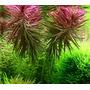 Limnophila aromatica - RATAJ (koszyk)